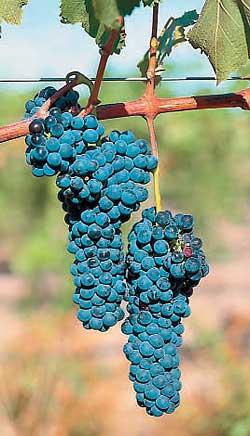 Кисть винограда