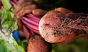 В Штатах разрешили употребление еще одной ГМО-кульутры
