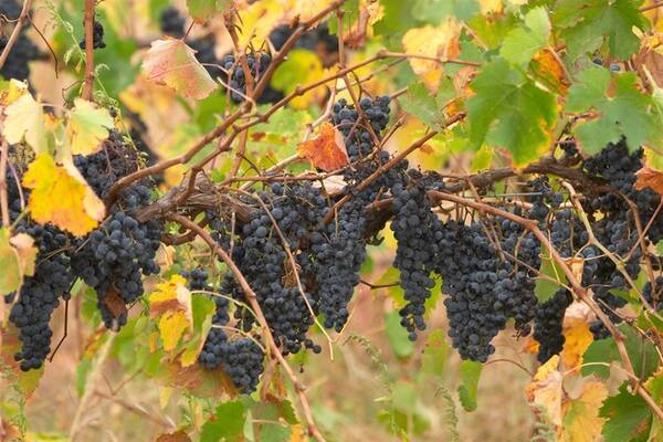 Россия сможет обеспечить себя вином через 10 лет