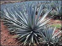 Текилу делают конкретно из мексиканской голубой агавы.